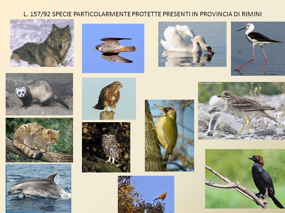 Specie cacciabili presenti in provincia di Rimini beccaccia (Scolopax rusticola); pavoncella (Vanellus vanellus); cornacchia grigia (Corvus corone cornix);