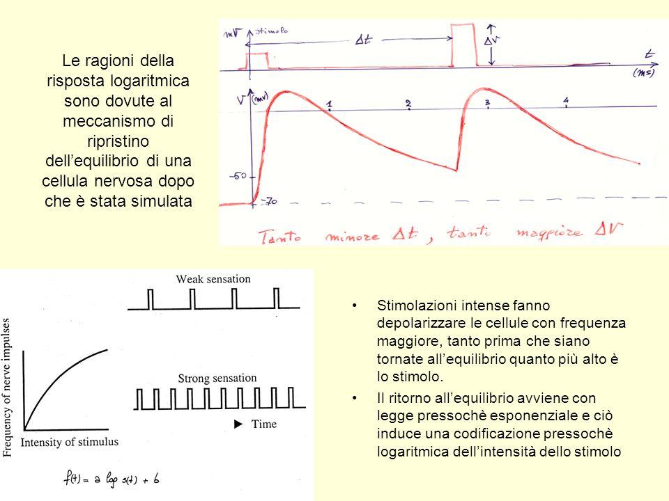 Le ragioni della risposta logaritmica sono dovute al meccanismo di ripristino dellequilibrio di una cellula nervosa dopo che è stata simulata Stimolaz