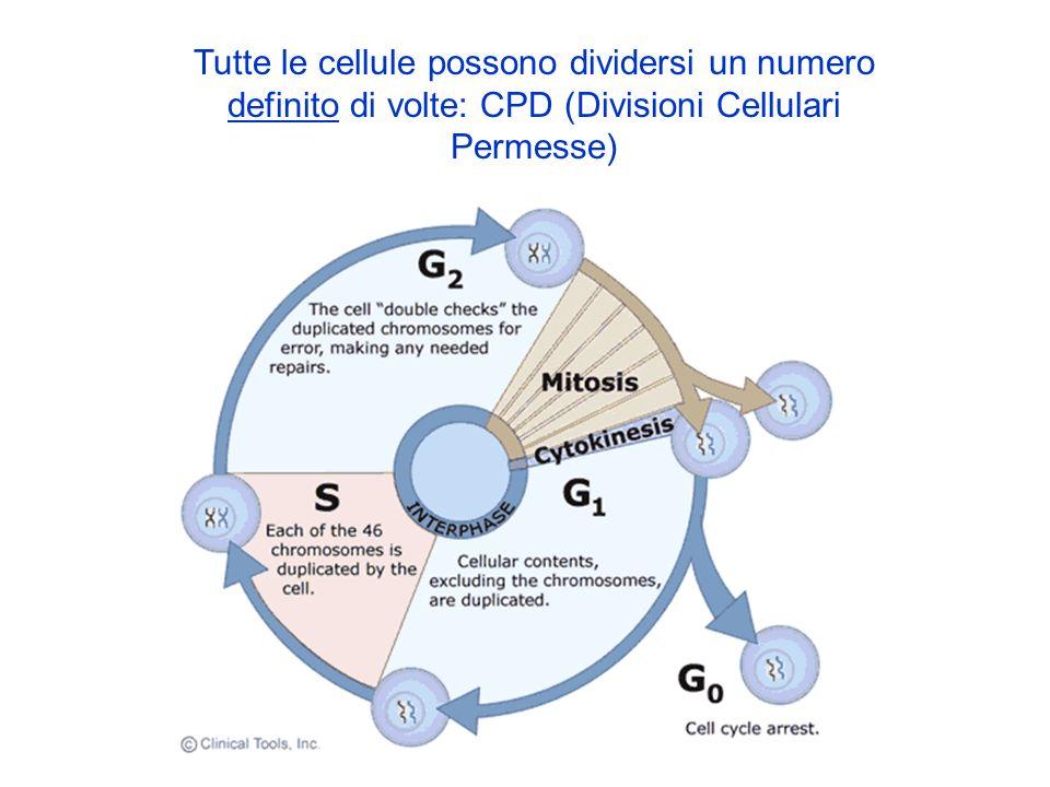Tutte le cellule possono dividersi un numero definito di volte: CPD (Divisioni Cellulari Permesse)