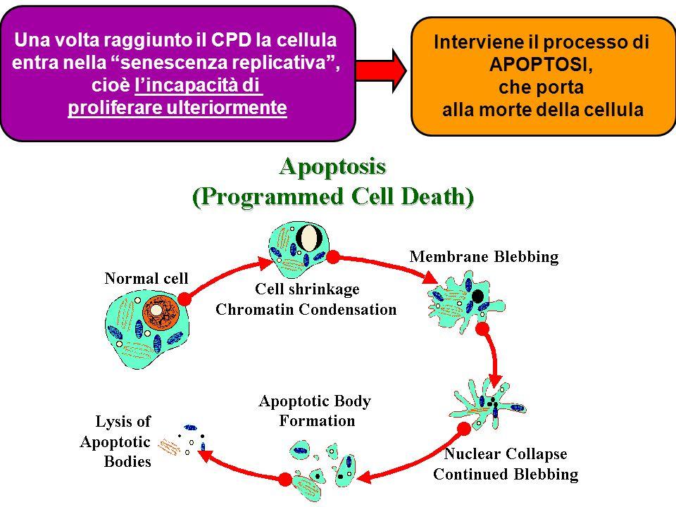 Una volta raggiunto il CPD la cellula entra nella senescenza replicativa, cioè lincapacità di proliferare ulteriormente Interviene il processo di APOP