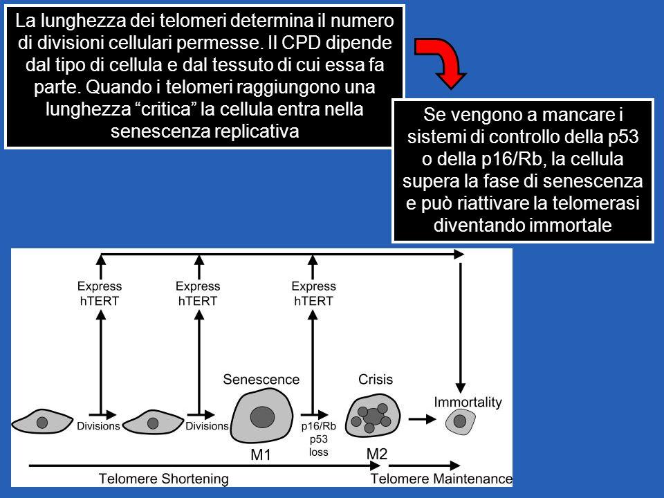 La lunghezza dei telomeri determina il numero di divisioni cellulari permesse. Il CPD dipende dal tipo di cellula e dal tessuto di cui essa fa parte.