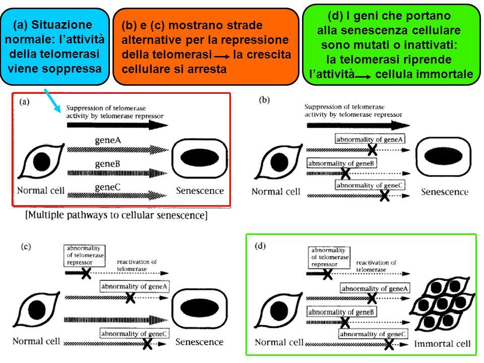 (a)Situazione normale: lattività della telomerasi viene soppressa (b) e (c) mostrano strade alternative per la repressione della telomerasi la crescit