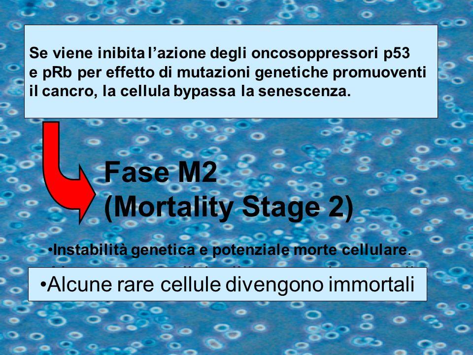 Se viene inibita lazione degli oncosoppressori p53 e pRb per effetto di mutazioni genetiche promuoventi il cancro, la cellula bypassa la senescenza. F