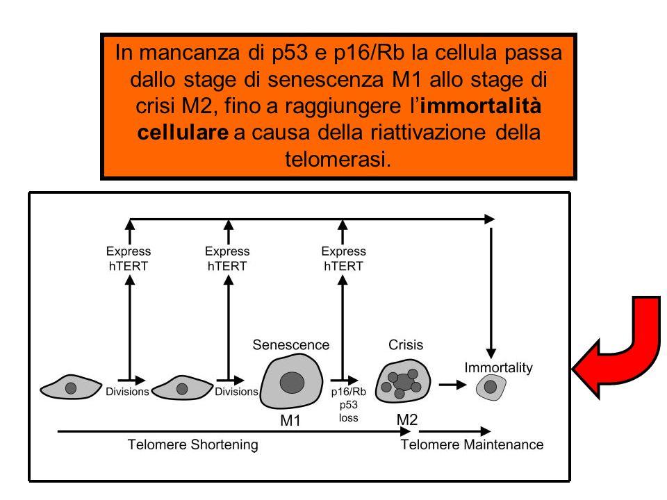 In mancanza di p53 e p16/Rb la cellula passa dallo stage di senescenza M1 allo stage di crisi M2, fino a raggiungere limmortalità cellulare a causa de