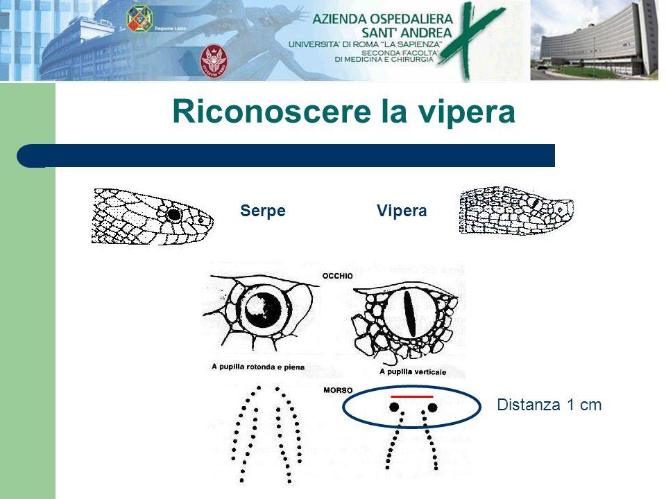 Riconoscere la vipera ViperaSerpe Distanza 1 cm