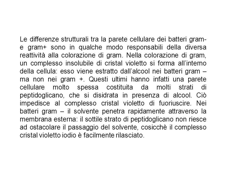 Le differenze strutturali tra la parete cellulare dei batteri gram- e gram+ sono in qualche modo responsabili della diversa reattività alla colorazione di gram.