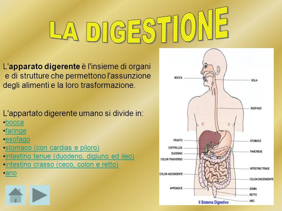 L'apparato digerente è l'insieme di organi e di strutture che permettono l'assunzione degli alimenti e la loro trasformazione. L'appartato digerente u