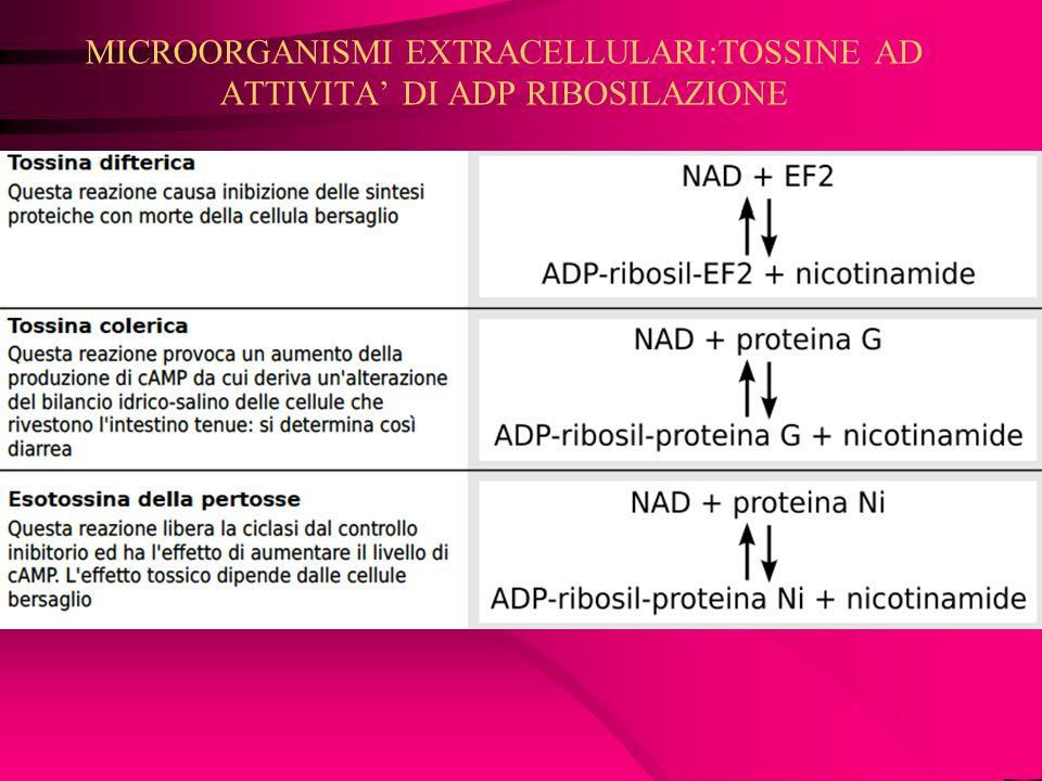 MICROORGANISMI EXTRACELLULARI:TOSSINE AD ATTIVITA DI ADP RIBOSILAZIONE