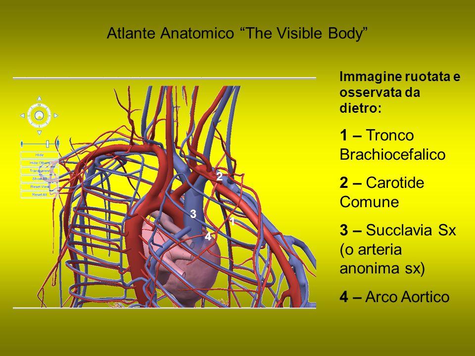 Atlante Anatomico The Visible Body Immagine ruotata e osservata da dietro: 1 – Tronco Brachiocefalico 2 – Carotide Comune 3 – Succlavia Sx (o arteria
