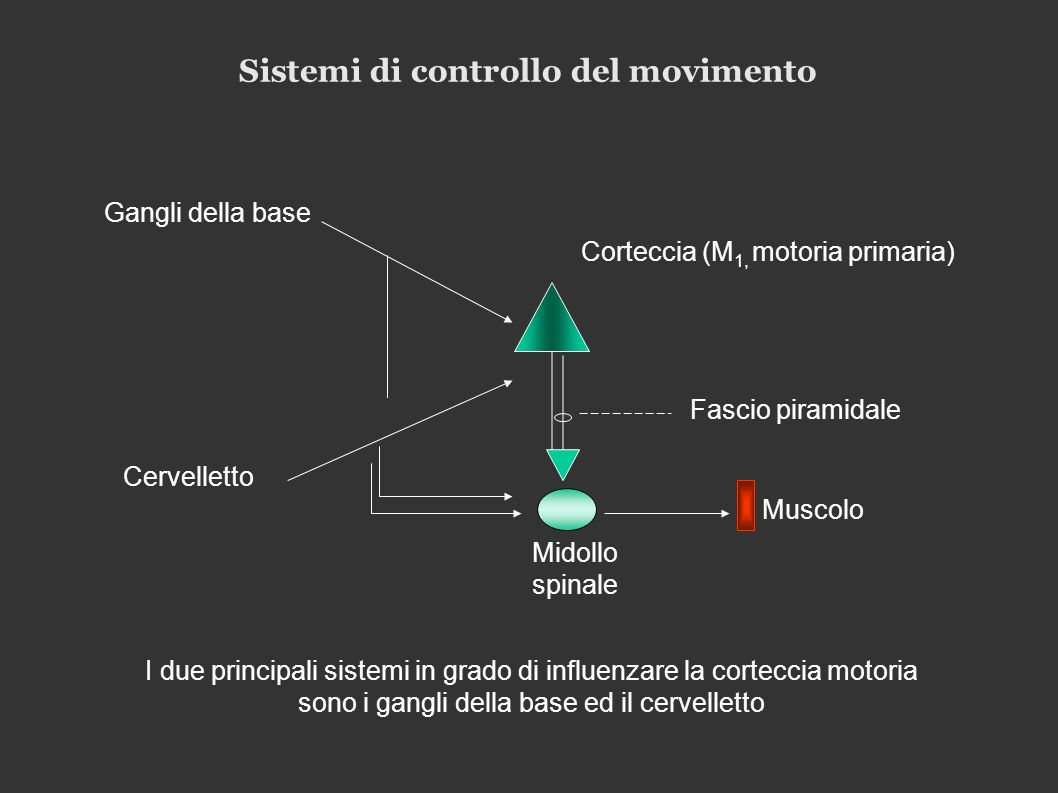 Sistemi di controllo del movimento Gangli della base Cervelletto Corteccia (M 1, motoria primaria) Fascio piramidale Muscolo Midollo spinale I due principali sistemi in grado di influenzare la corteccia motoria sono i gangli della base ed il cervelletto