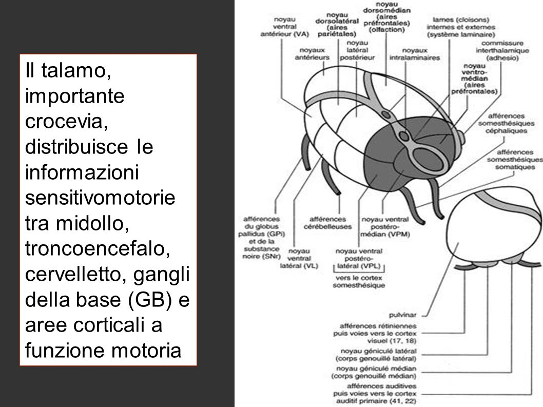 Il talamo, importante crocevia, distribuisce le informazioni sensitivomotorie tra midollo, troncoencefalo, cervelletto, gangli della base (GB) e aree corticali a funzione motoria