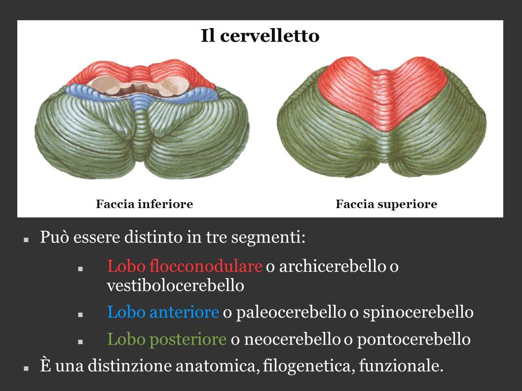 Può essere distinto in tre segmenti: Lobo flocconodulare o archicerebello o vestibolocerebello Lobo anteriore o paleocerebello o spinocerebello Lobo posteriore o neocerebello o pontocerebello È una distinzione anatomica, filogenetica, funzionale.