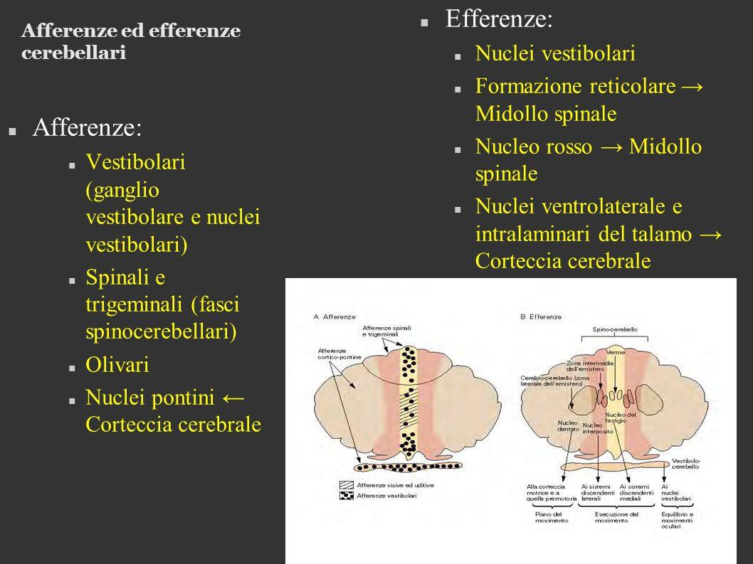 Afferenze ed efferenze cerebellari Afferenze: Vestibolari (ganglio vestibolare e nuclei vestibolari) Spinali e trigeminali (fasci spinocerebellari) Olivari Nuclei pontini Corteccia cerebrale Efferenze: Nuclei vestibolari Formazione reticolare Midollo spinale Nucleo rosso Midollo spinale Nuclei ventrolaterale e intralaminari del talamo Corteccia cerebrale