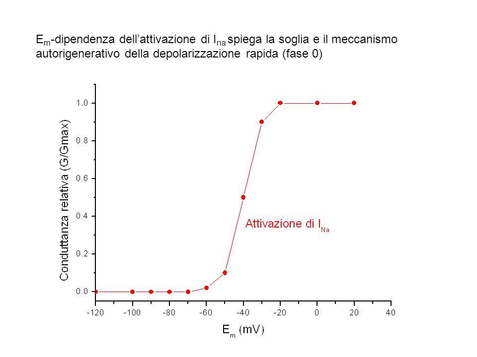 E m -dipendenza dellattivazione di I na spiega la soglia e il meccanismo autorigenerativo della depolarizzazione rapida (fase 0)