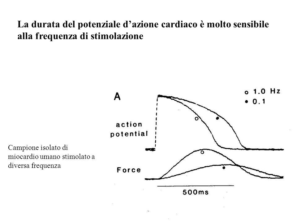 La durata del potenziale dazione cardiaco è molto sensibile alla frequenza di stimolazione Campione isolato di miocardio umano stimolato a diversa fre