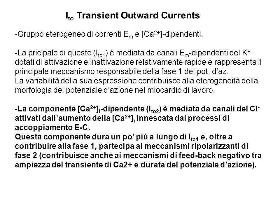 -Gruppo eterogeneo di correnti E m e [Ca 2+ ]-dipendenti. -La pricipale di queste (I to1 ) è mediata da canali E m -dipendenti del K + dotati di attiv