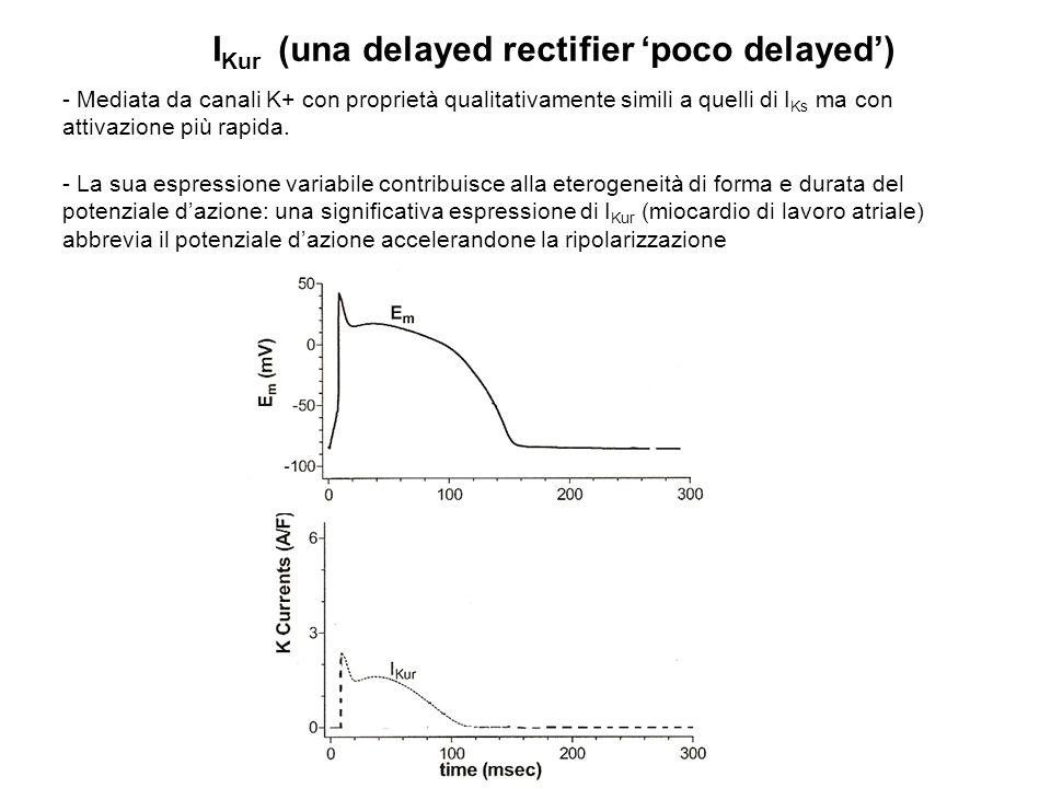 I Kur (una delayed rectifier poco delayed) - Mediata da canali K+ con proprietà qualitativamente simili a quelli di I Ks ma con attivazione più rapida