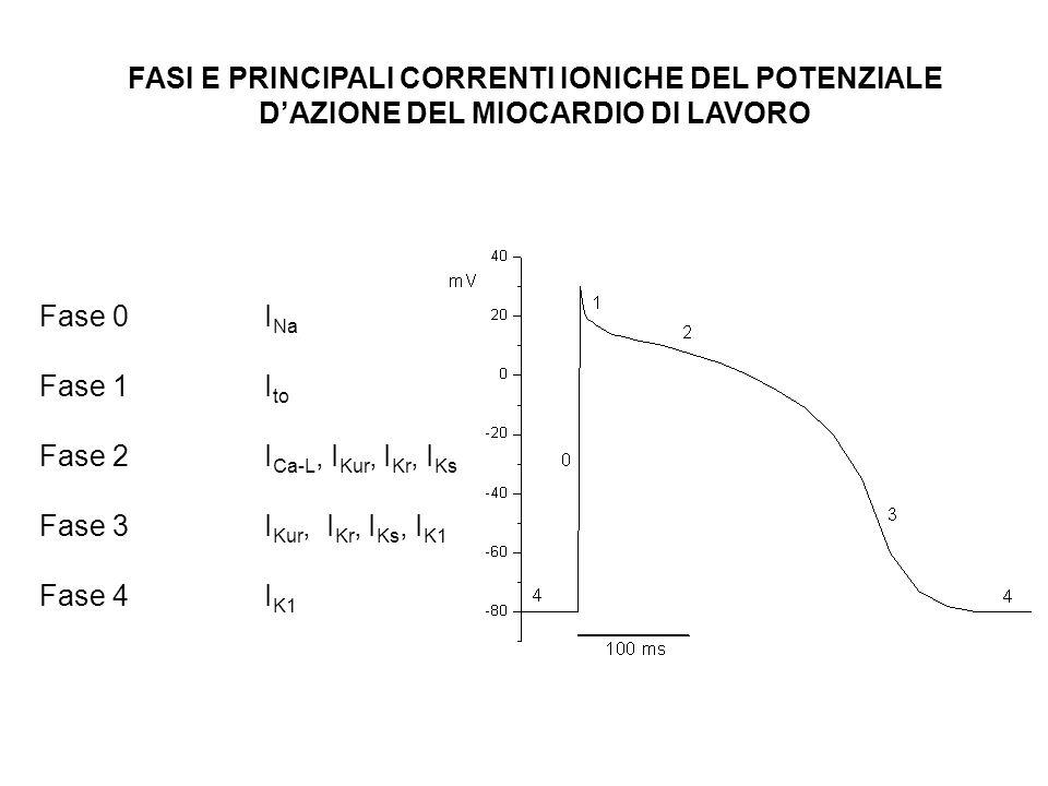 FASI E PRINCIPALI CORRENTI IONICHE DEL POTENZIALE DAZIONE DEL MIOCARDIO DI LAVORO Fase 0 I Na Fase 1 I to Fase 2 I Ca-L, I Kur, I Kr, I Ks Fase 3 I Ku