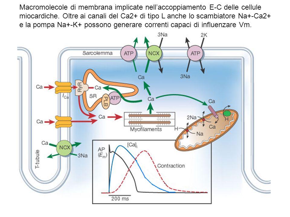 Macromolecole di membrana implicate nellaccoppiamento E-C delle cellule miocardiche. Oltre ai canali del Ca2+ di tipo L anche lo scambiatore Na+-Ca2+