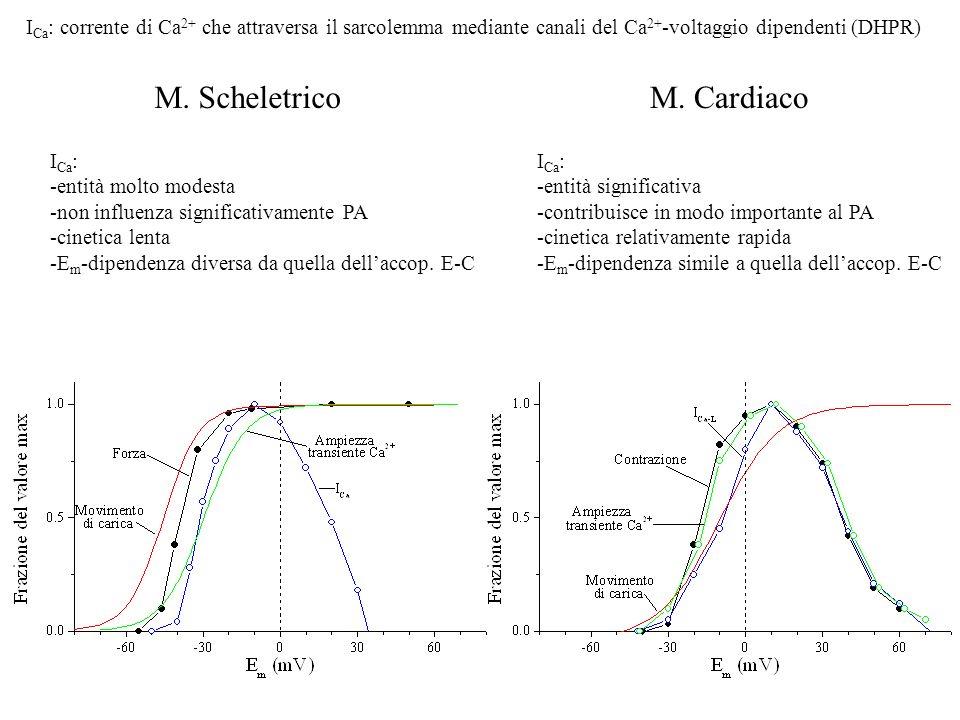 M. ScheletricoM. Cardiaco I Ca : -entità molto modesta -non influenza significativamente PA -cinetica lenta -E m -dipendenza diversa da quella dellacc