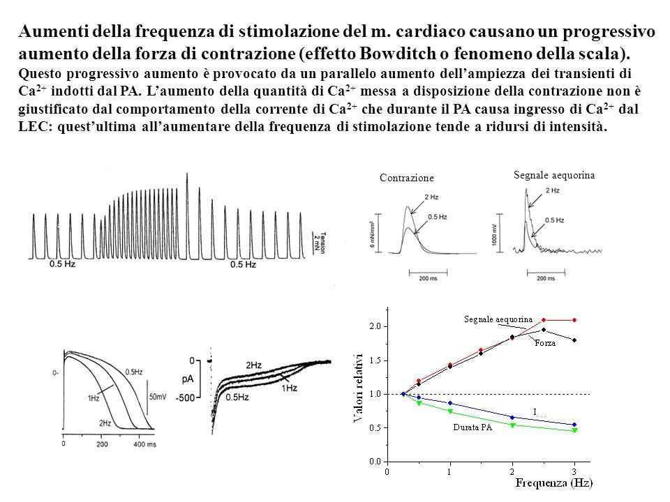 Aumenti della frequenza di stimolazione del m. cardiaco causano un progressivo aumento della forza di contrazione (effetto Bowditch o fenomeno della s