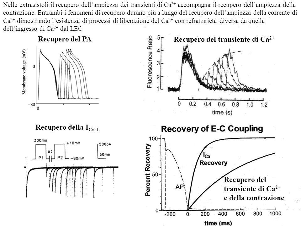 Recupero del PA Recupero della I Ca-L Recupero del transiente di Ca 2+ Recupero del transiente di Ca 2+ e della contrazione Nelle extrasistoli il recu