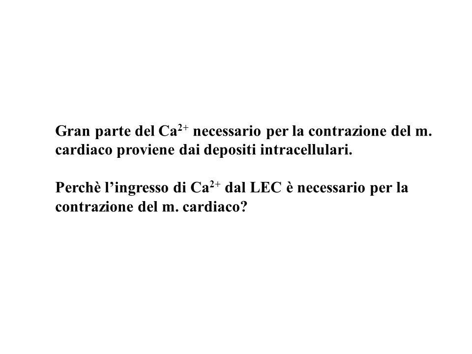 Gran parte del Ca 2+ necessario per la contrazione del m. cardiaco proviene dai depositi intracellulari. Perchè lingresso di Ca 2+ dal LEC è necessari