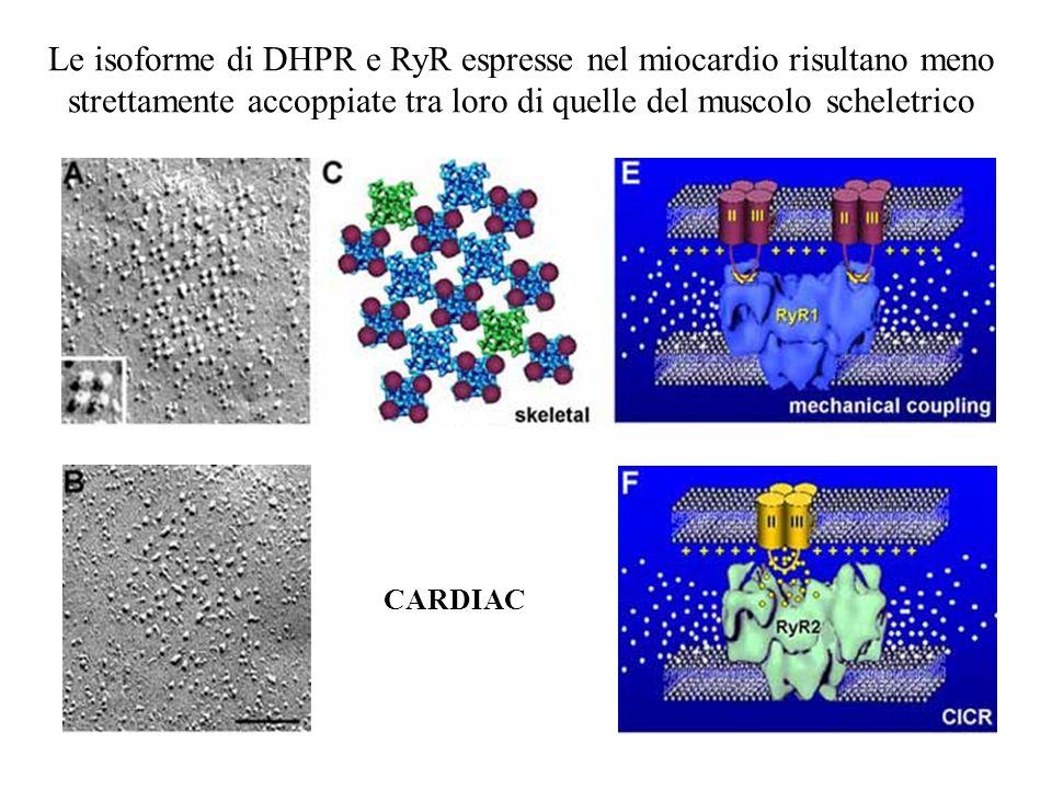 CARDIAC Le isoforme di DHPR e RyR espresse nel miocardio risultano meno strettamente accoppiate tra loro di quelle del muscolo scheletrico