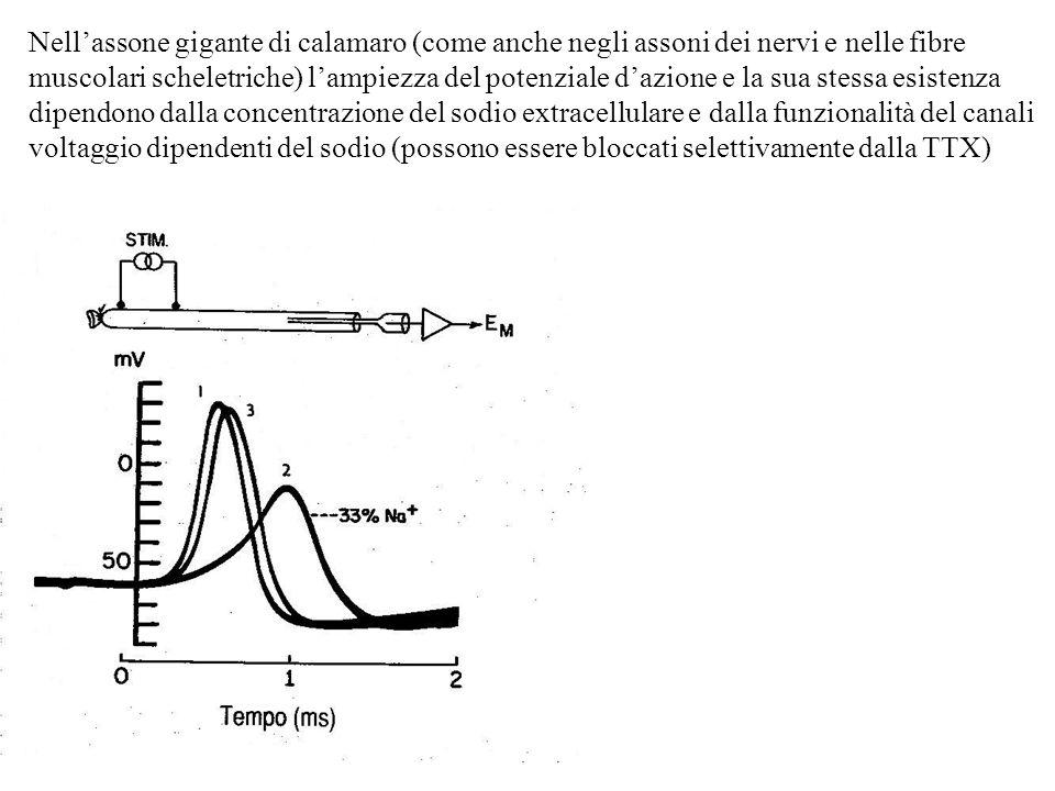 Per la contrazione del m.cardiaco è indispensabile la presenza di Ca 2+ extracellulare.