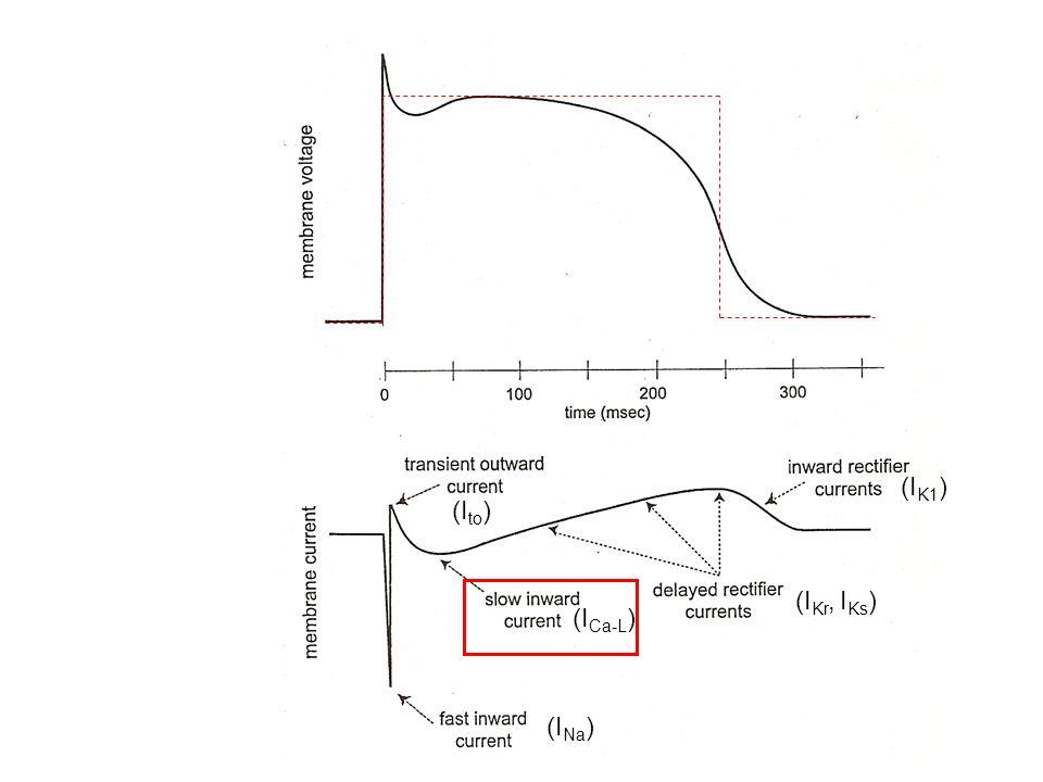 I Ca-L Slow Inward Current -Corrente transitoria relativamente lenta e non molto intensa -Mediata da famiglia di canali del Ca 2+ di tipo L (long lasting, high threshold) -Contribuisce alla fase 2 (plateau) del pot.daz.