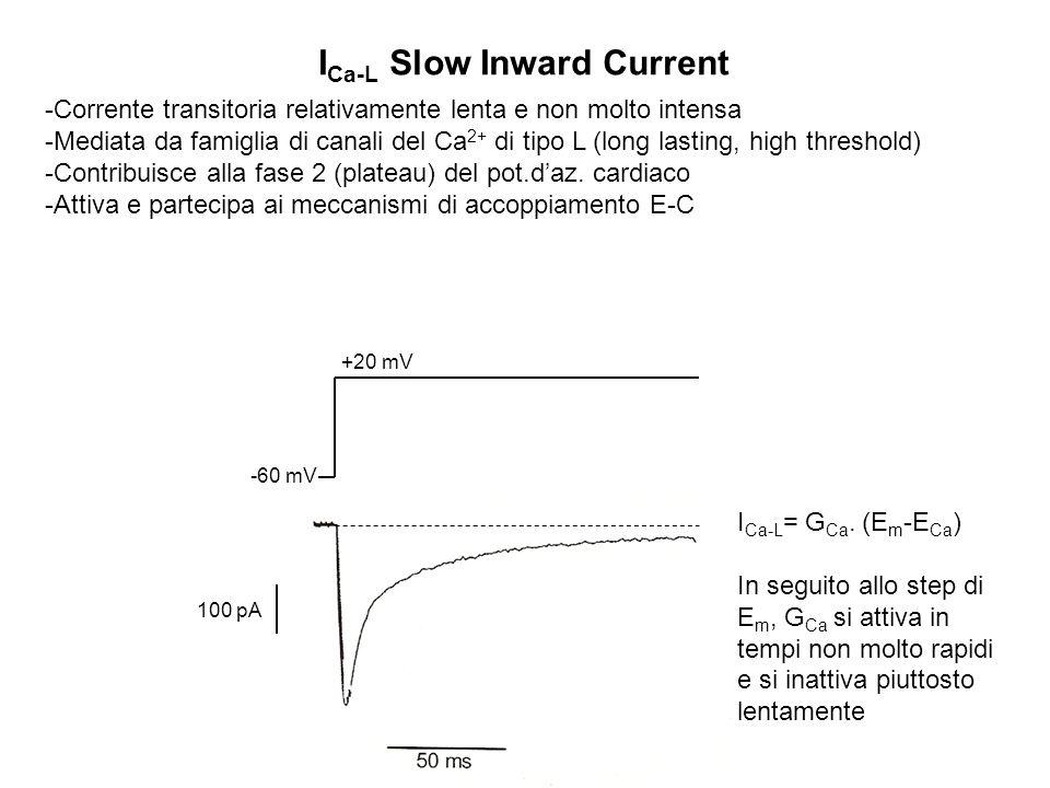 I Ca-L Slow Inward Current -Corrente transitoria relativamente lenta e non molto intensa -Mediata da famiglia di canali del Ca 2+ di tipo L (long last