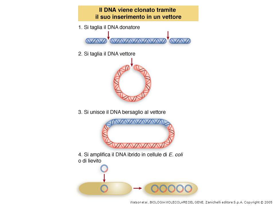 Watson et al., BIOLOGIA MOLECOLARE DEL GENE, Zanichelli editore S.p.A. Copyright © 2005