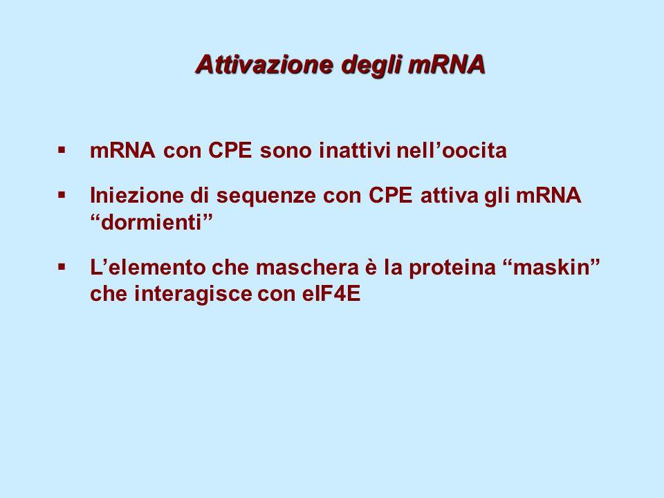 Attivazione degli mRNA mRNA con CPE sono inattivi nelloocita Iniezione di sequenze con CPE attiva gli mRNA dormienti Lelemento che maschera è la prote