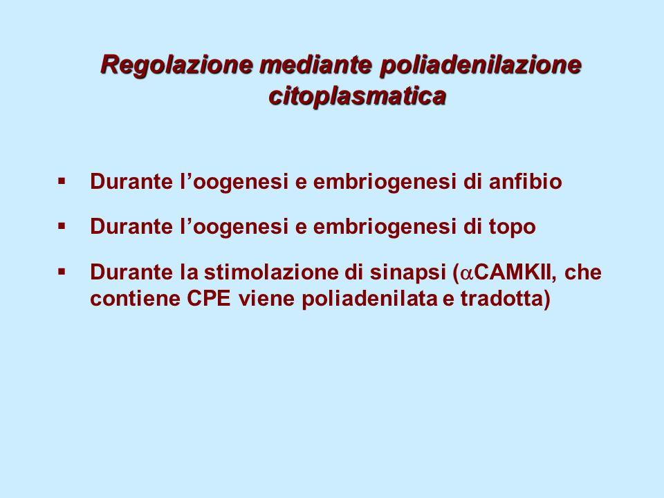 Regolazione mediante poliadenilazione citoplasmatica Durante loogenesi e embriogenesi di anfibio Durante loogenesi e embriogenesi di topo Durante la s