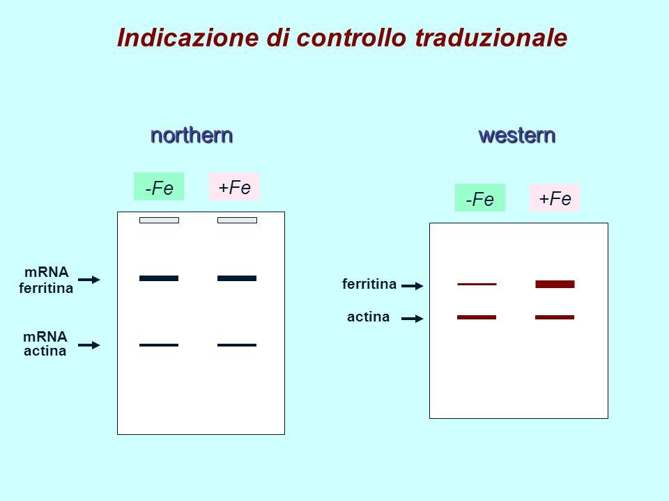 mRNA ferritina mRNA actina ferritina actina northernwestern -Fe +Fe Indicazione di controllo traduzionale -Fe +Fe