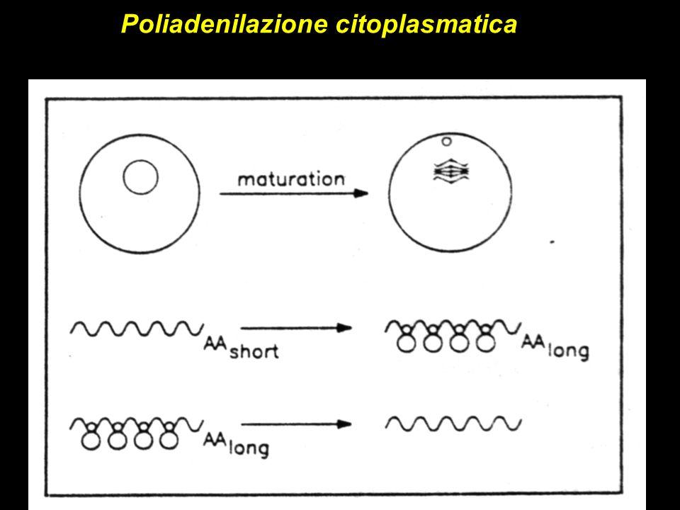 Poliadenilazione citoplasmatica