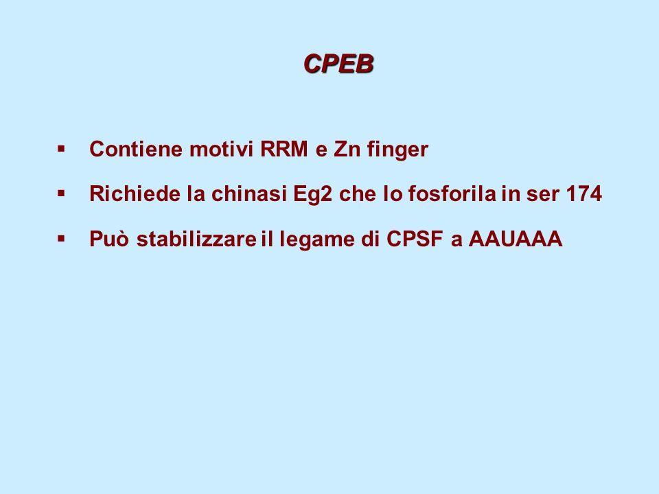 CPEB Contiene motivi RRM e Zn finger Richiede la chinasi Eg2 che lo fosforila in ser 174 Può stabilizzare il legame di CPSF a AAUAAA
