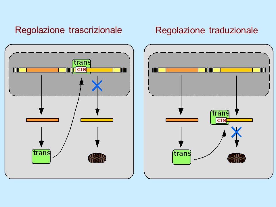 Regolazione trascrizionale Regolazione traduzionale