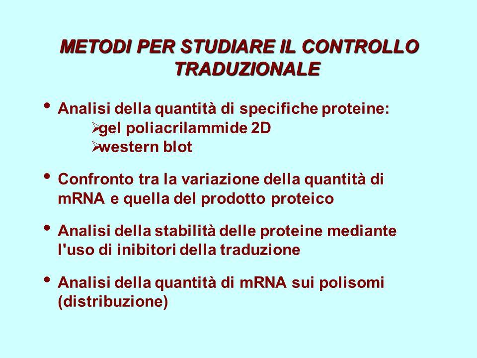 METODI PER STUDIARE IL CONTROLLO TRADUZIONALE Analisi della quantità di specifiche proteine: gel poliacrilammide 2D western blot Confronto tra la vari
