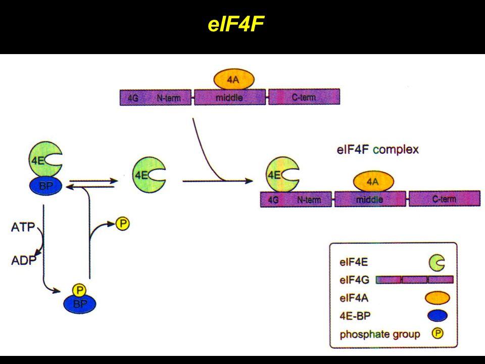 eIF4F eIF4F Composto da 3 subunità eIF4A: elicasi, aiutato da eIF4B eIF4E: cap binding protein, regolato da fosforilazione e interazione con eIF4E-BP eIF4G: adattatore, interagisce con diversi fattori