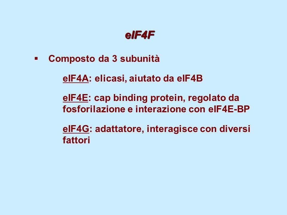 eIF4G