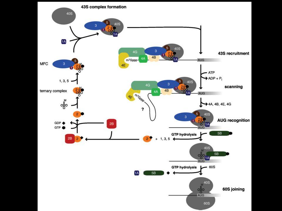 Passaggi dellinizio di traduzione 1.Formazione complesso 43S 2.Reclutamento del complesso 43S sul 5 dellmRNA 3.Scanning del 5 UTR e riconoscimento dellAUG 4.Formazione del complesso 80S
