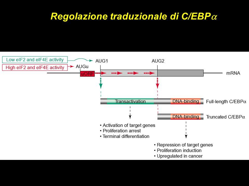 Regolazione traduzionale di C/EBP