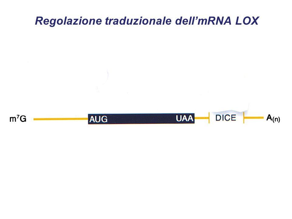 Regolazione traduzionale dellmRNA LOX