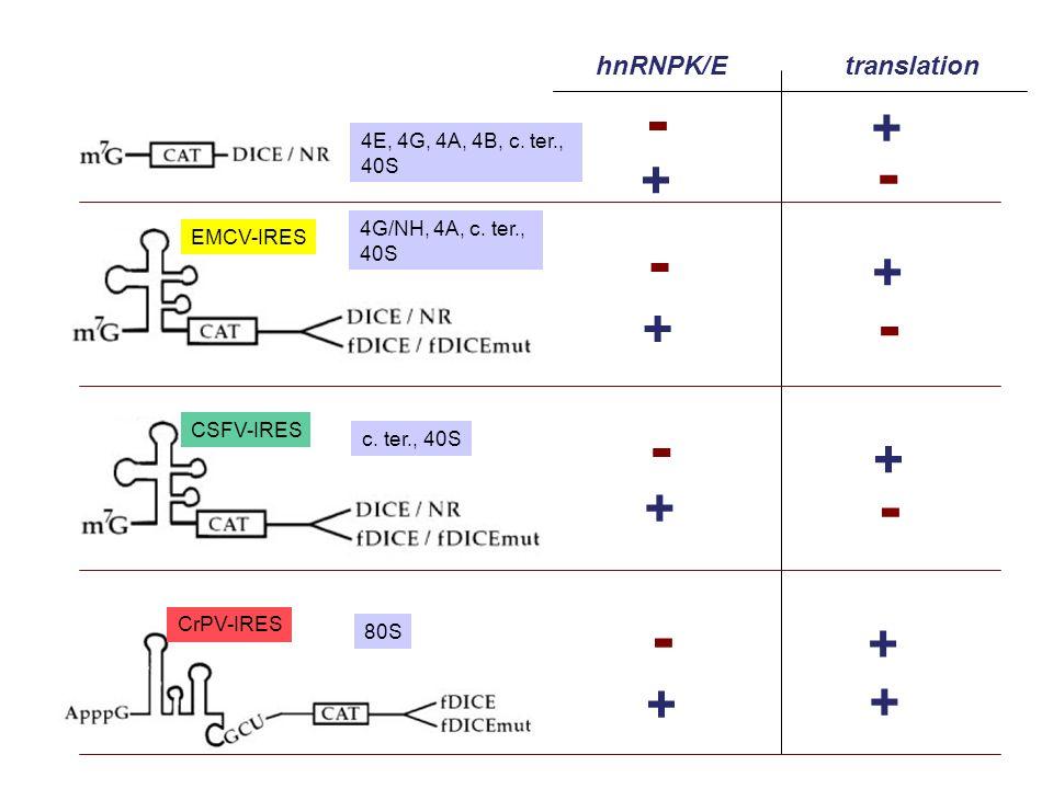 EMCV-IRES CSFV-IRES CrPV-IRES hnRNPK/Etranslation + - + - + - + - + - + + + - + - 4G/NH, 4A, c. ter., 40S 4E, 4G, 4A, 4B, c. ter., 40S c. ter., 40S 80