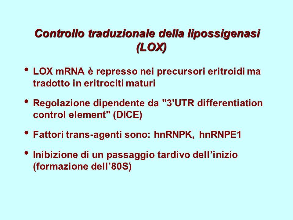 Controllo traduzionale della lipossigenasi (LOX) LOX mRNA è represso nei precursori eritroidi ma tradotto in eritrociti maturi Regolazione dipendente da 3 UTR differentiation control element (DICE) Fattori trans-agenti sono: hnRNPK, hnRNPE1 Inibizione di un passaggio tardivo dellinizio (formazione dell80S)