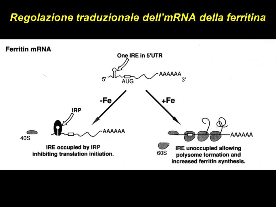 Regolazione traduzionale dellmRNA della ferritina