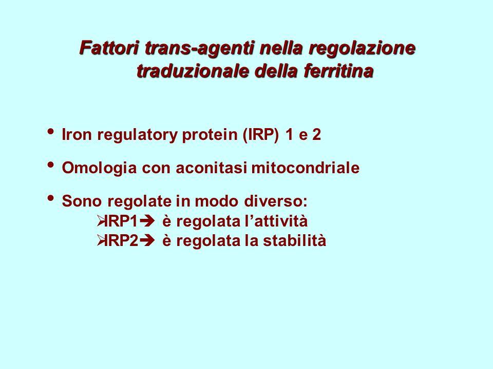 Fattori trans-agenti nella regolazione traduzionale della ferritina Iron regulatory protein (IRP) 1 e 2 Omologia con aconitasi mitocondriale Sono regolate in modo diverso: IRP1 è regolata lattività IRP2 è regolata la stabilità