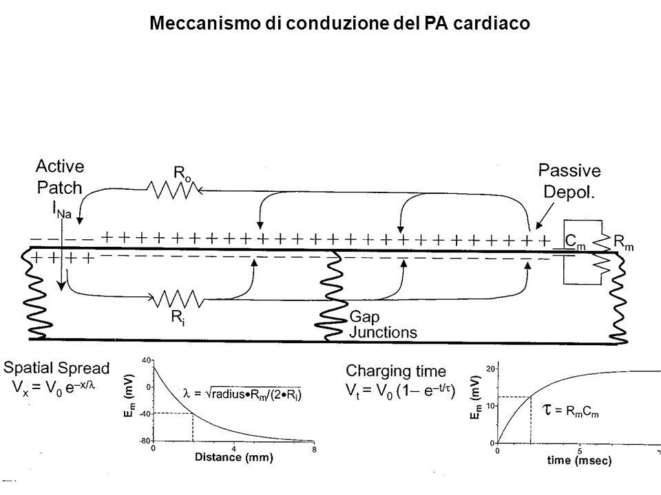 La velocità di conduzione delle diverse zone del cuore dipende: -dalle caratteristiche del PA (sorgente delle correnti elettrotoniche [ΔEm, dEm/dt]) -dalle proprietà di cavo del tessuto (geometria cell., numero e conduttanza nexus in parallelo)