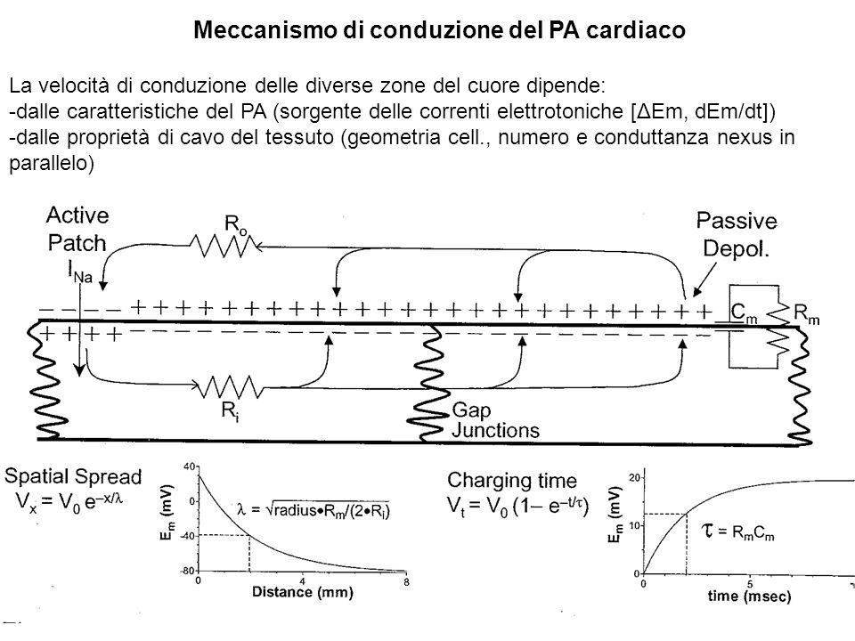 Differenze (1) di ampiezza e velocità della fase 0 del PA e (2) di geometria cellulare e di numero e conduttanza dei nexus in parallelo spiegano: -le differenze di velocità di conduzione nelle diverse regioni del cuore che determinano la sequenza temporale di attivazione elettrica del cuore